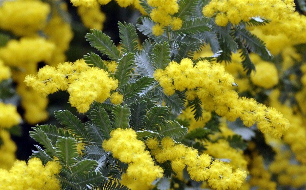 Acacias flores amarillas im genes y fotos - Clases de flores amarillas ...