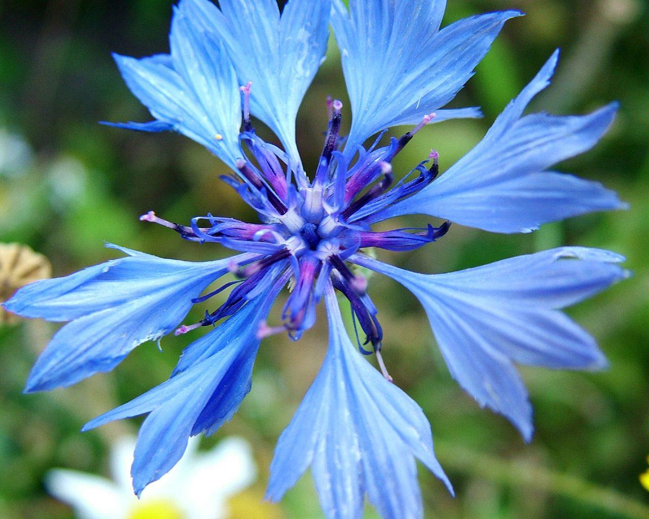 Galer a de im genes acianos - Flores mas bonitas ...