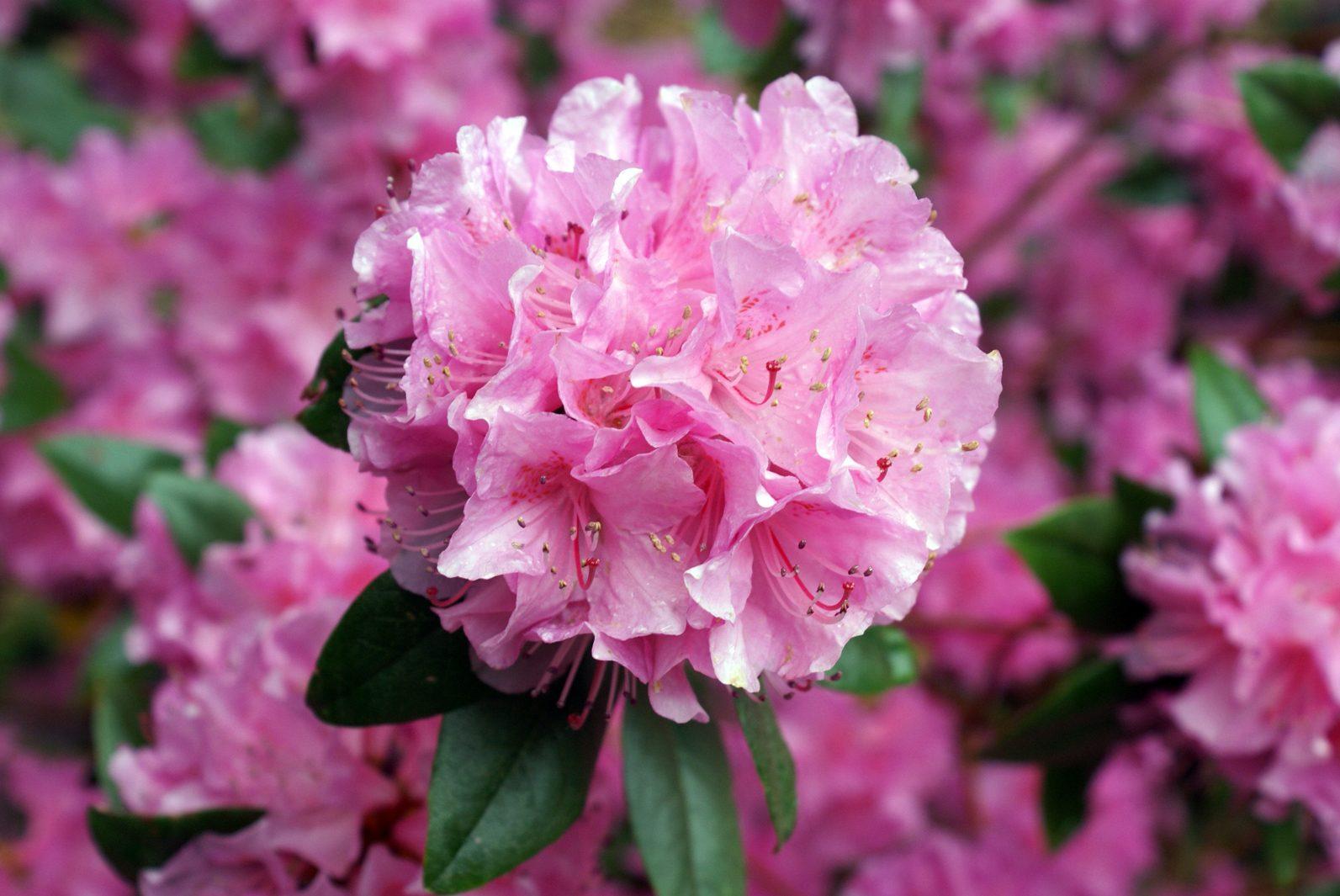 Azaleas for Que se planta en septiembre