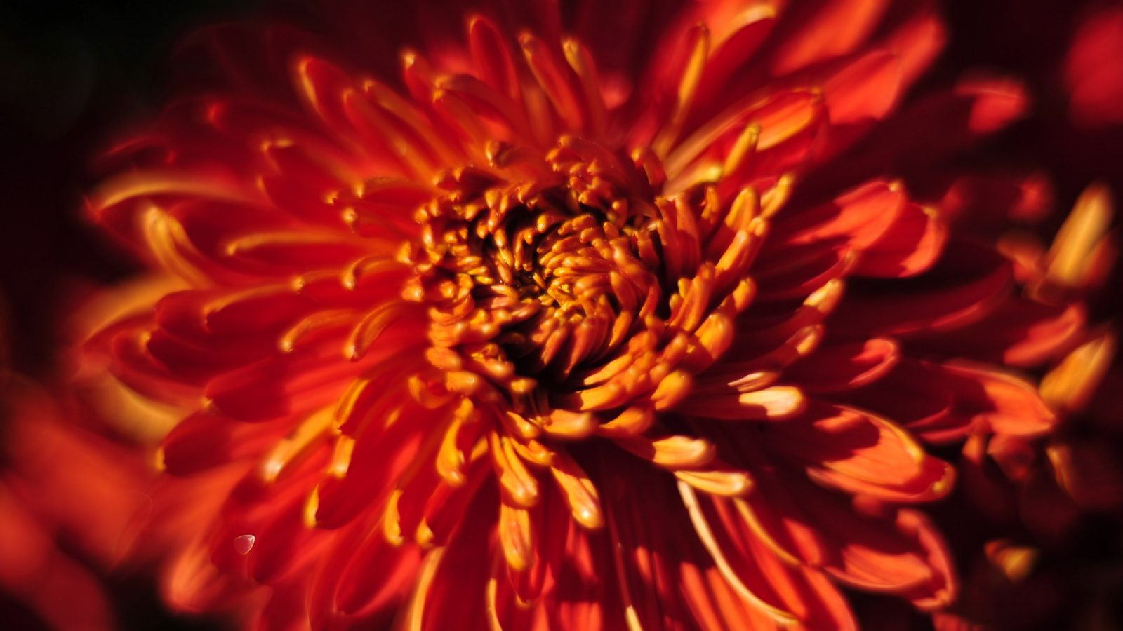 crisantemo rojo im225genes y fotos