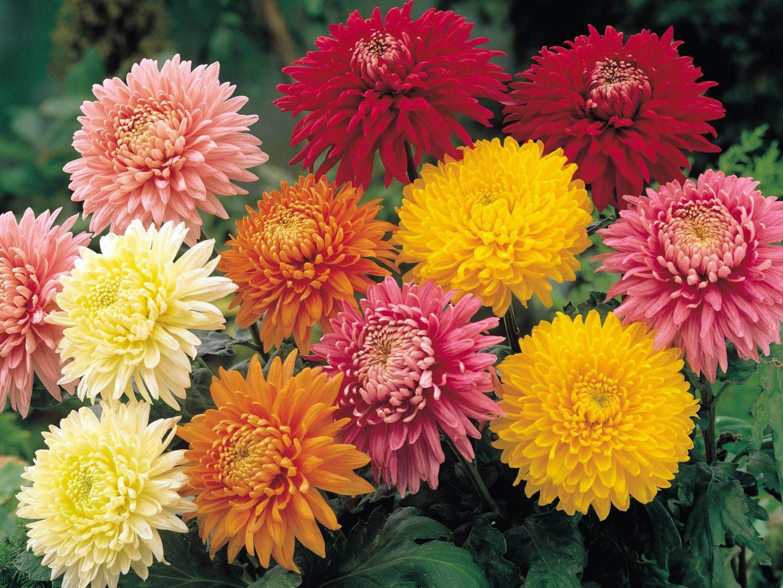 Galer a de im genes crisantemos for Plantas baratas