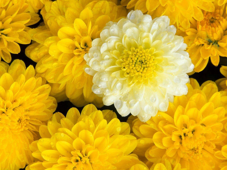 dalias blancas y amarillas