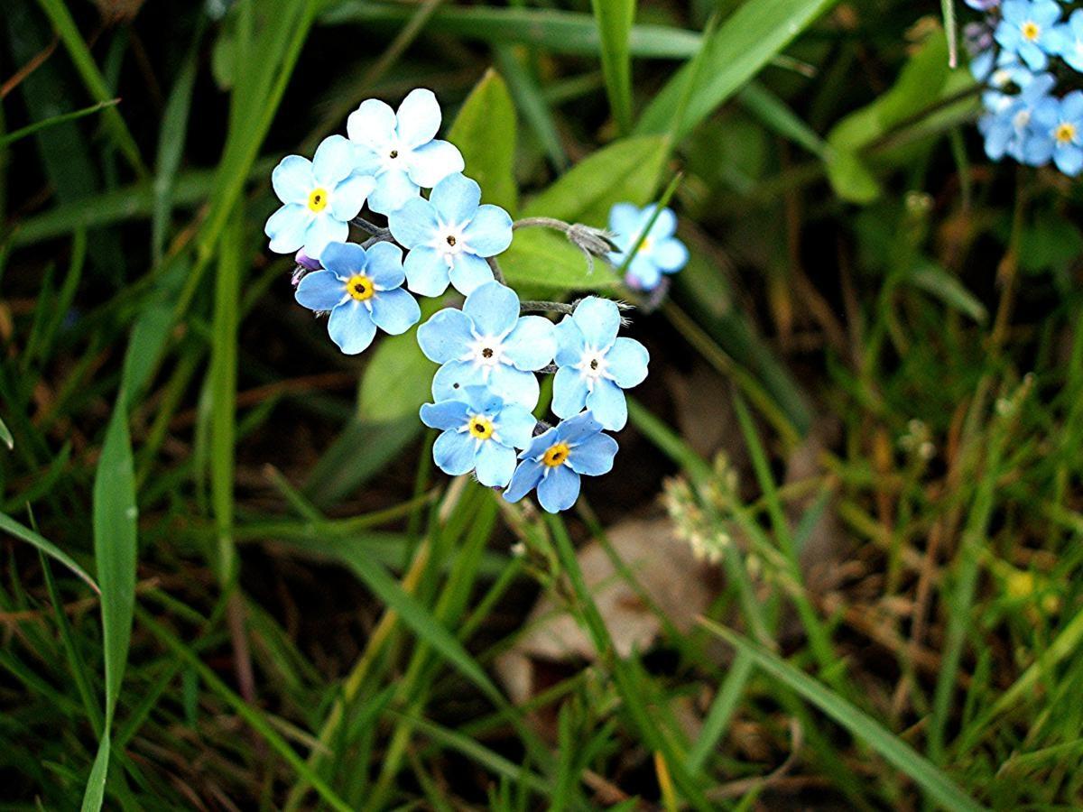 Flor De Nomeolvides Imagenes Y Fotos