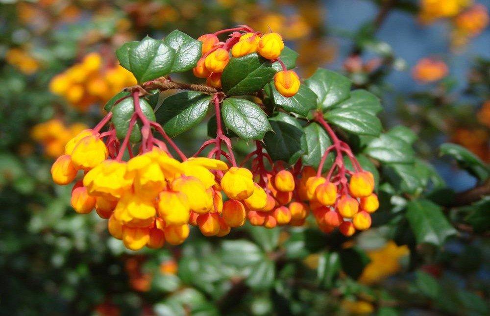 Flores amarillas agracejos im genes y fotos - Clases de flores amarillas ...
