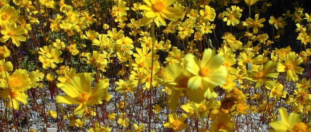 flores amarillas aladiernos im225genes y fotos