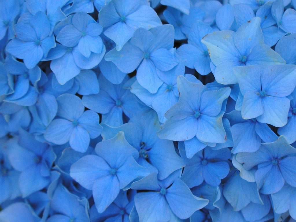 macro blue flower wallpaper - photo #42