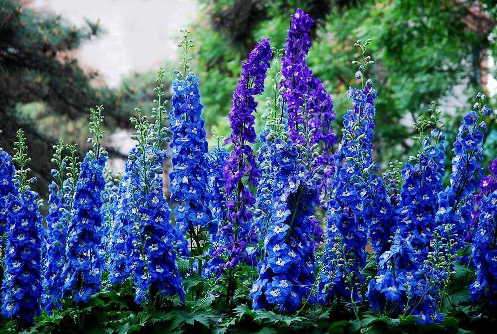 Мальва  описание растения свойства цветков польза и