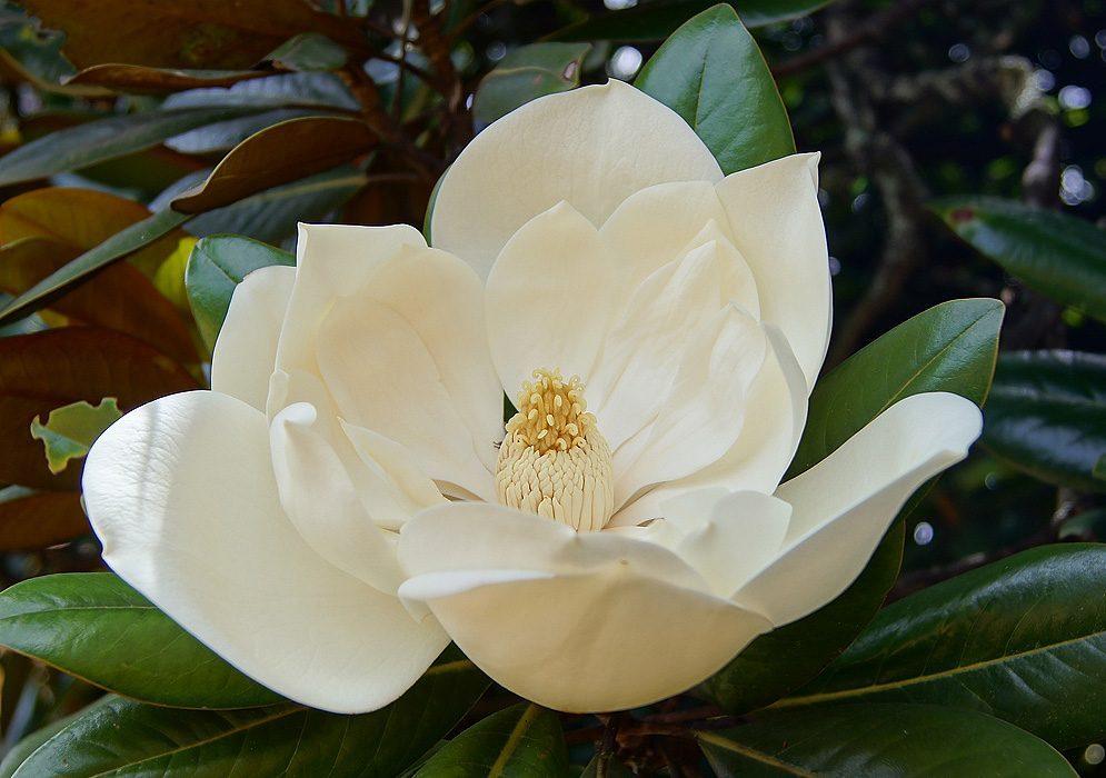 Flores blancas amarilis im genes y fotos - Significado rosas blancas ...
