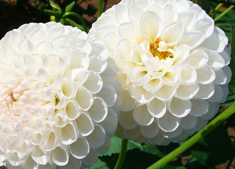 flores blancas dalias im genes y fotos