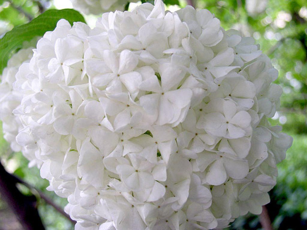 Flores blancas: Hortensias :: Imágenes y fotos