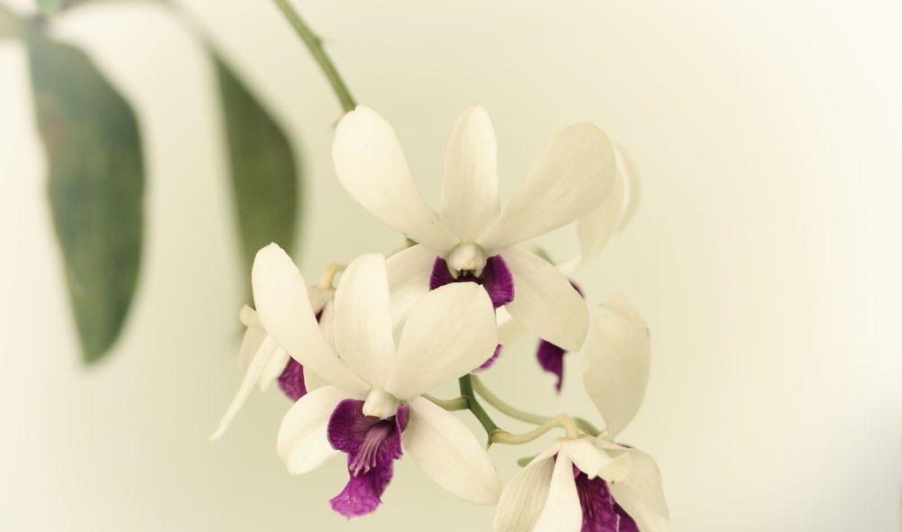 flores blancas orquídeas imágenes y fotos