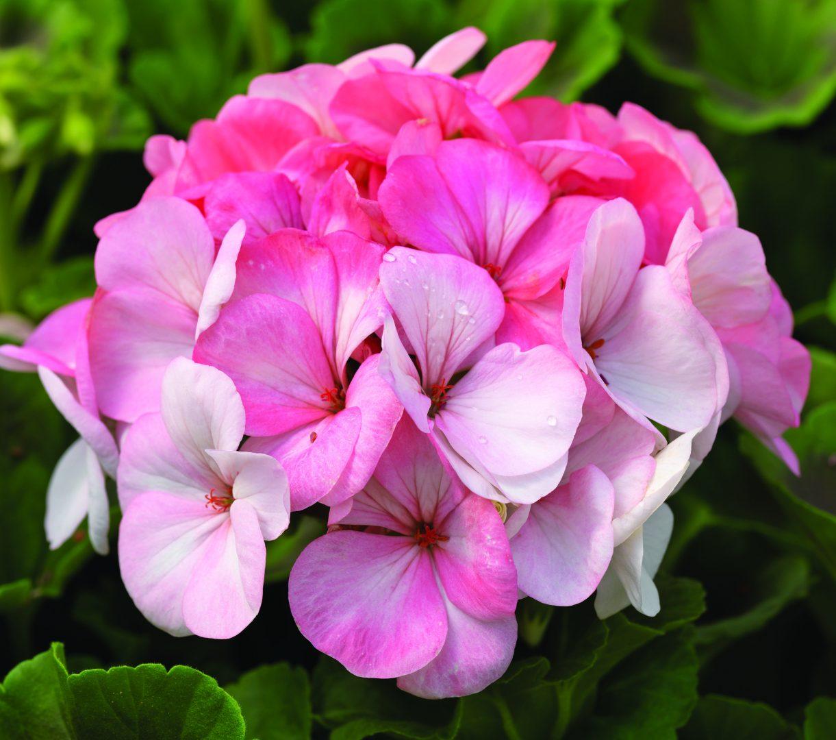 Flores de geranios im genes y fotos for Origen de las plantas ornamentales