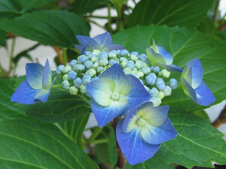 Flores de hortensias im genes y fotos - Cuidados de las hortensias ...