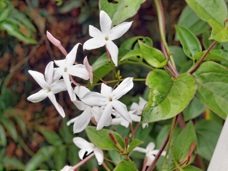 flores del jazm u00edn    im u00e1genes y fotos