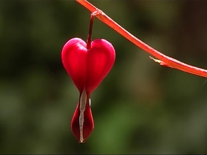 flores hermosas corazones sangrantes - Fotos De Flores Preciosas