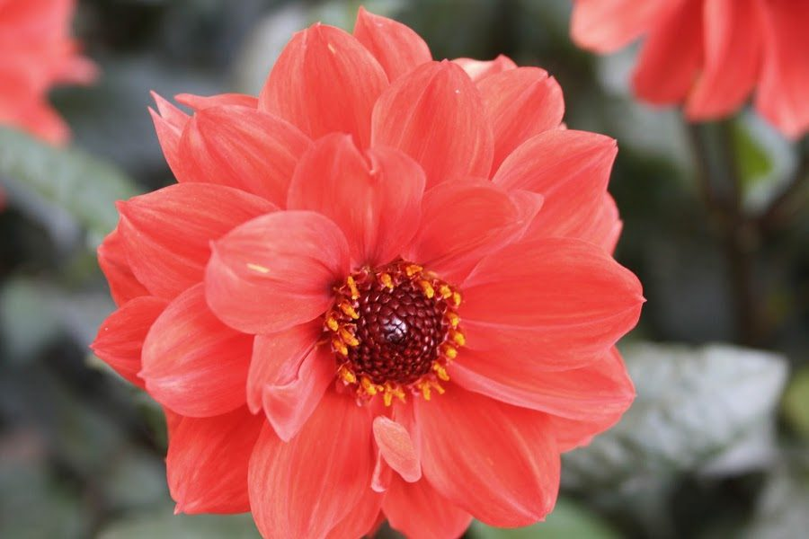 flores hermosas dalias