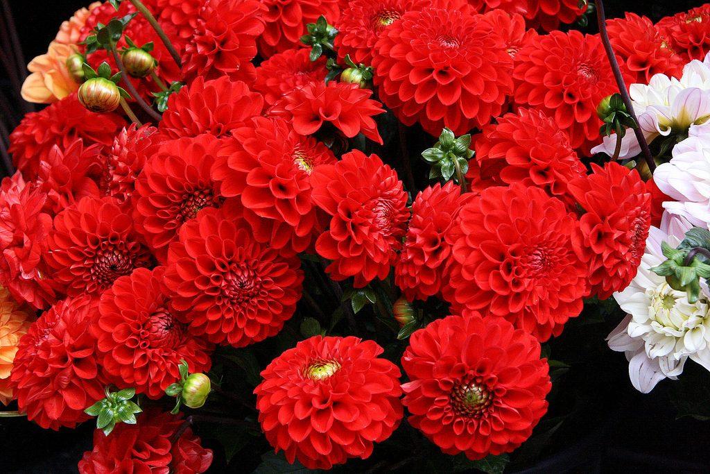 Flores rojas dalias im genes y fotos for Plantas en macetas para exterior fotos