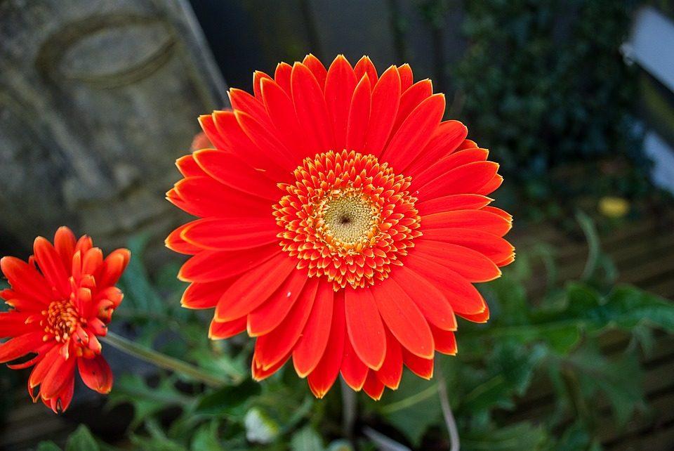 Flores Rojas Gerberas Imagenes Y Fotos