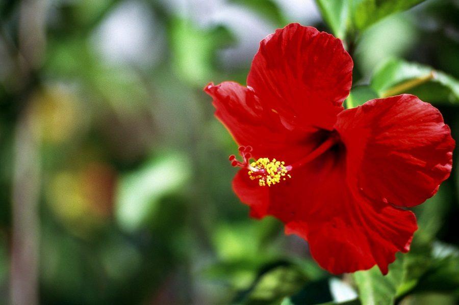 Flores rojas rosas chinas im genes y fotos - Rosas chinas ...