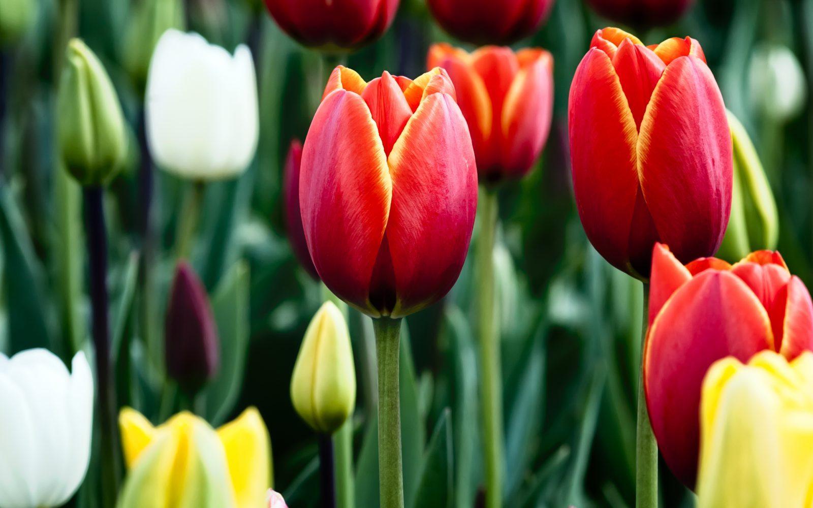 Fotos de flores tulipanes 51