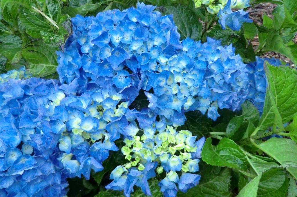Hortensias azules im genes y fotos - Cuidados de una hortensia ...