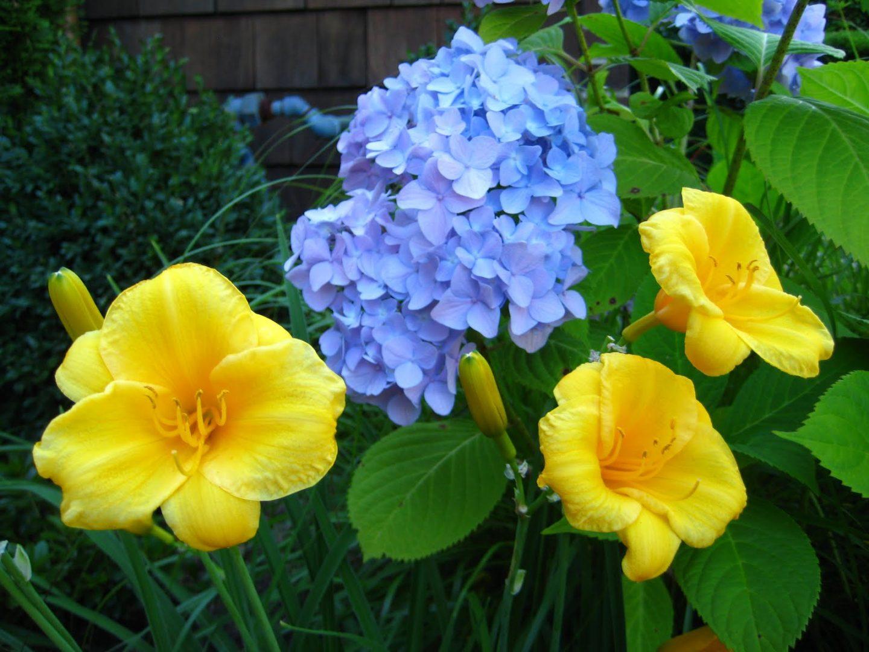 Hortensias de exterior im genes y fotos - Variedades de hortensias ...
