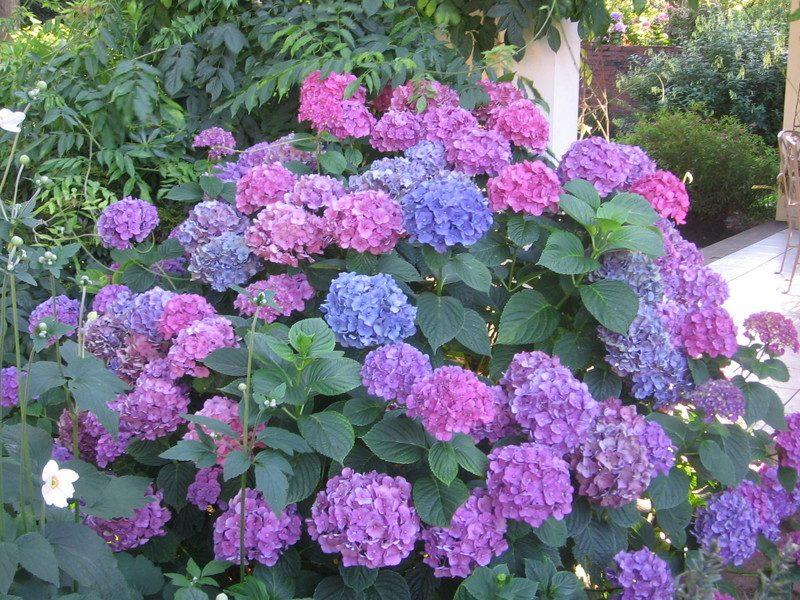 Galer a de im genes hortensias - Cuidar hortensias exterior ...