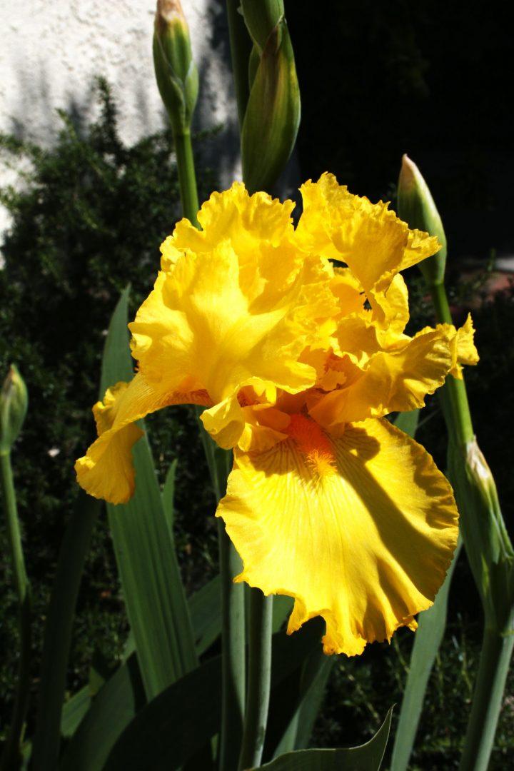 iris amarillas