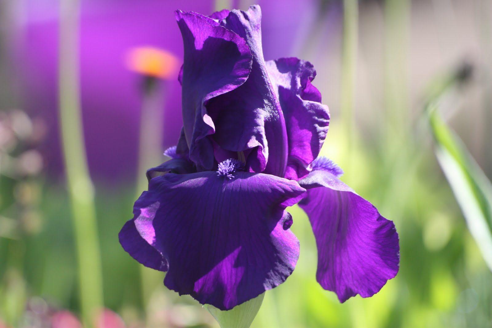 Lirios púrpura :: Imágenes y fotos