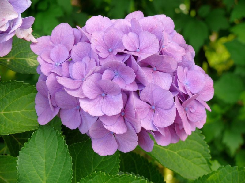 Lista de flores bonitas: hortensias :: Imágenes y fotos
