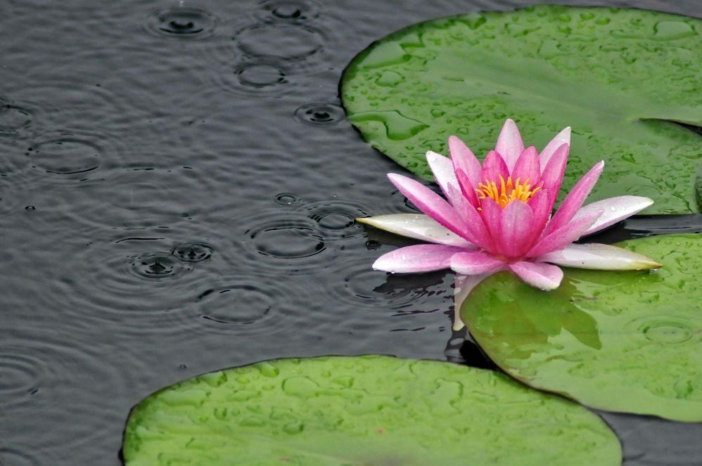 Lista de flores de loto