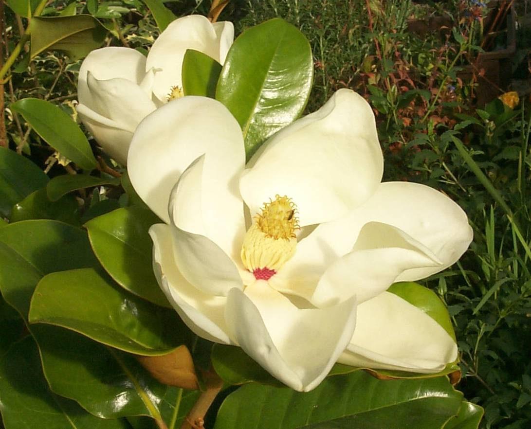 Galer a de im genes magnolias - Cuidados del magnolio ...