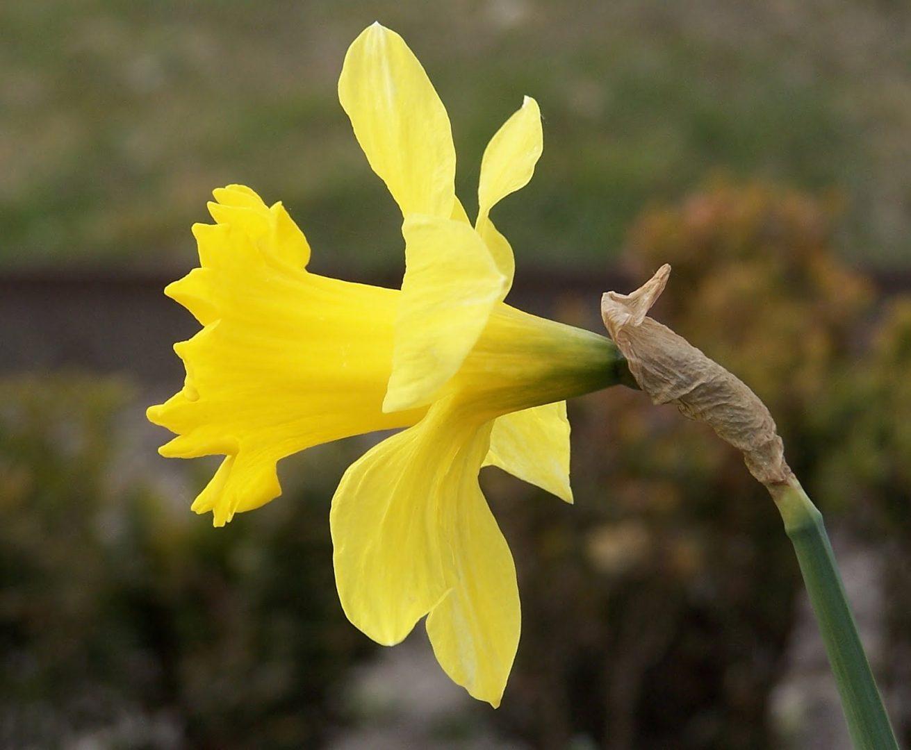 Narcisos Amarillos Imagenes Y Fotos - Narcisos-amarillos