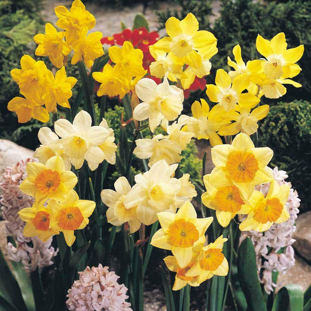 Narcisos Blancos Y Amarillos Imagenes Y Fotos - Narcisos-amarillos