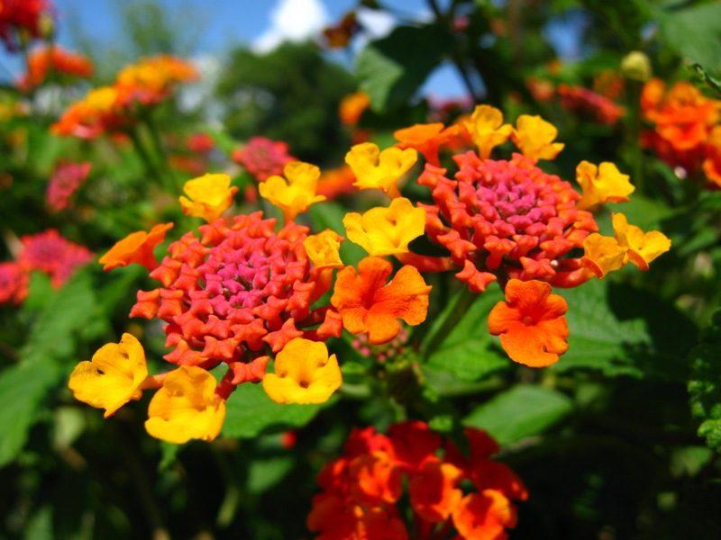 Nombre de flores lantanas im genes y fotos for Plantas decorativas con sus nombres