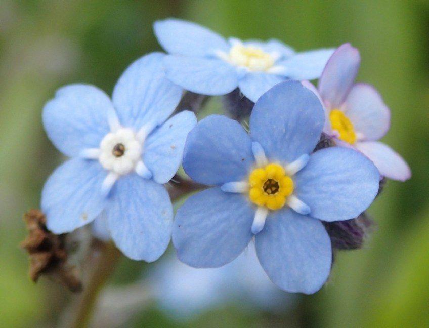 Nomeolvides azules :: Imágenes y fotos