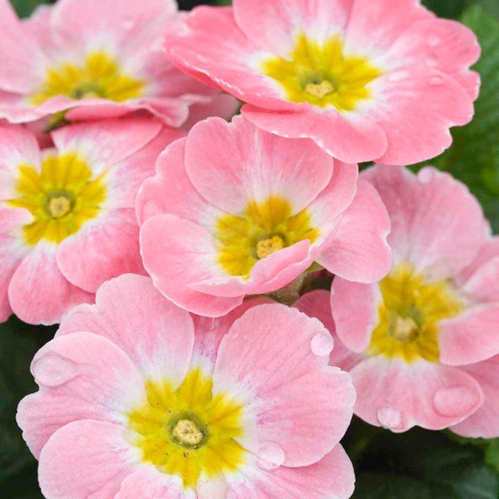 Pr mulas rosas im genes y fotos - Flores para cocinar ...