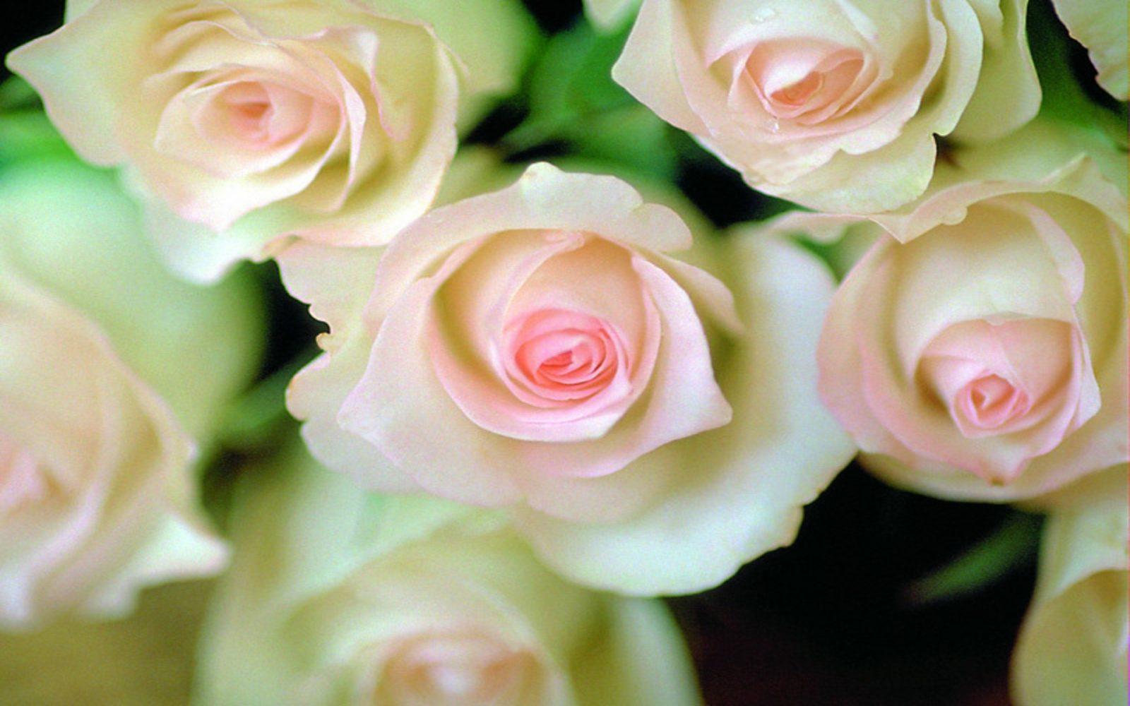 Rosas Imagenes, Rosas Fotos, Imagens de Rosas, Recados