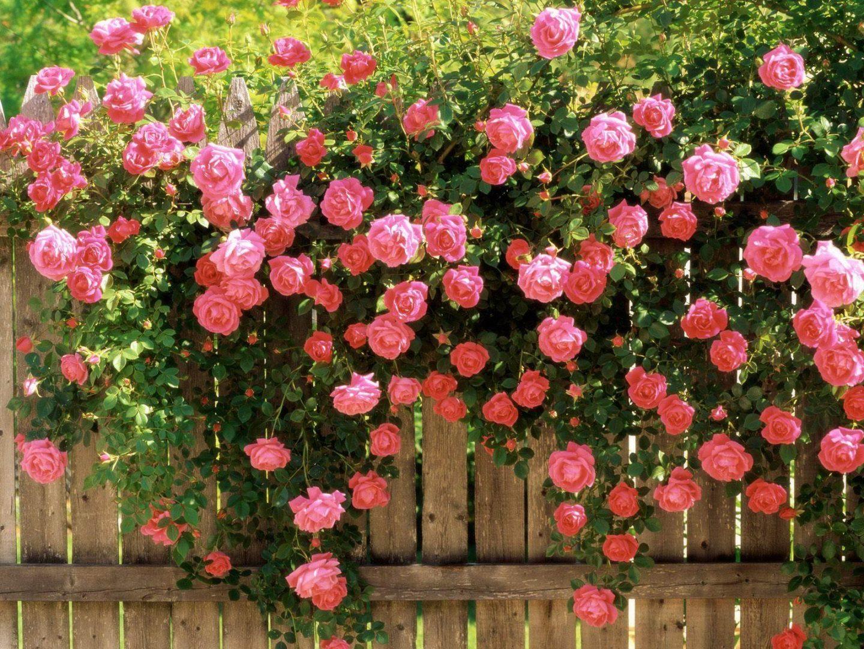 Rosas en el jard n im genes y fotos - Fotos de flores de jardin ...