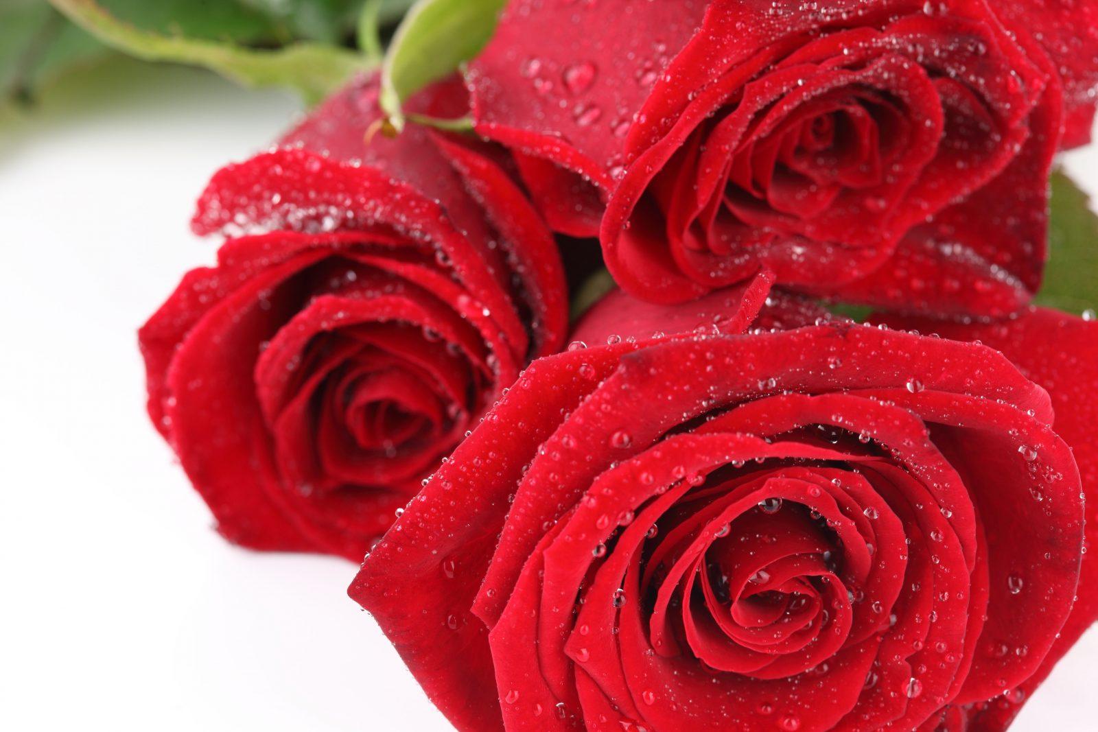 Rosas Rojas :: Imágenes Y Fotos