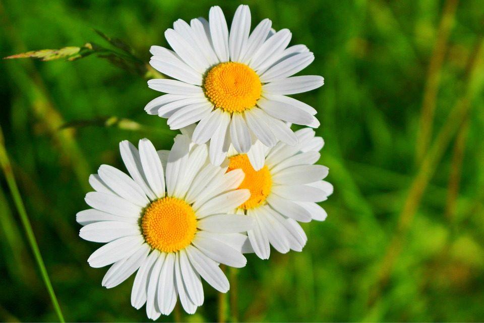 Tipos de flores: margaritas
