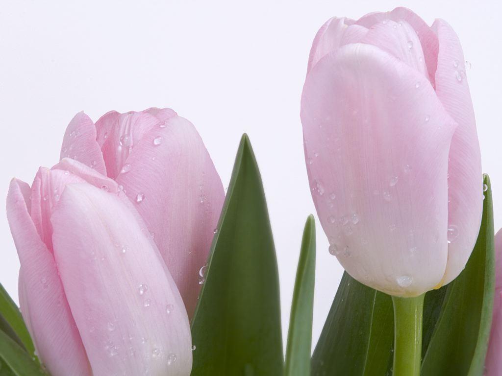 Galeria De Imagenes Tulipanes