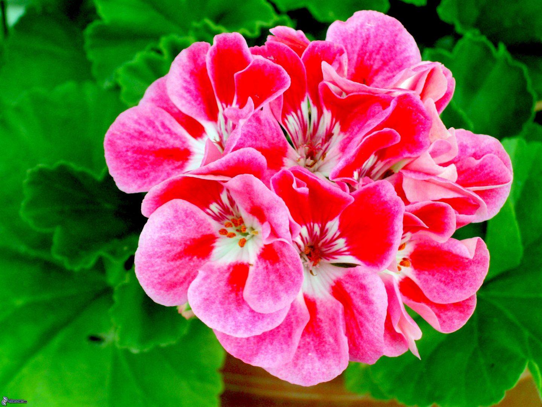 El geranio es una planta asexual
