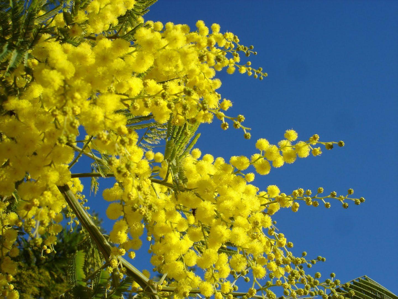Acacias amarillas