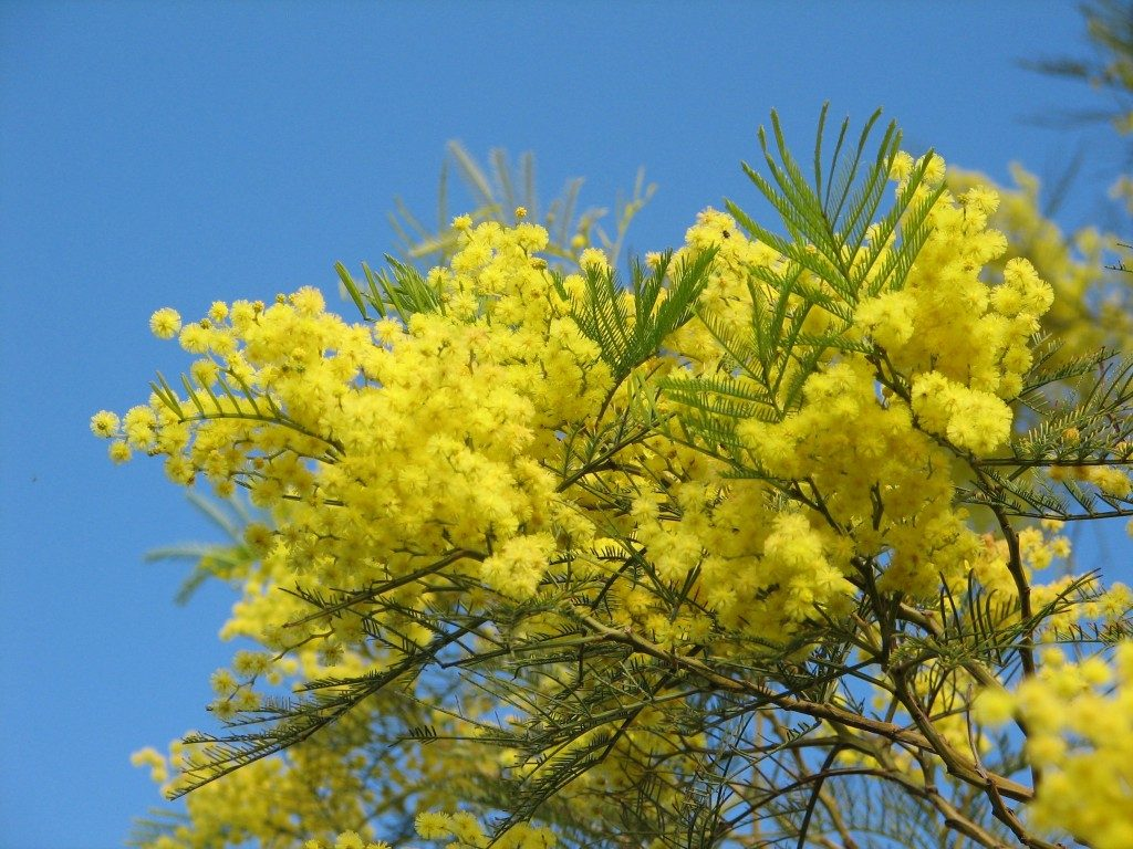 Acacias en un árbol