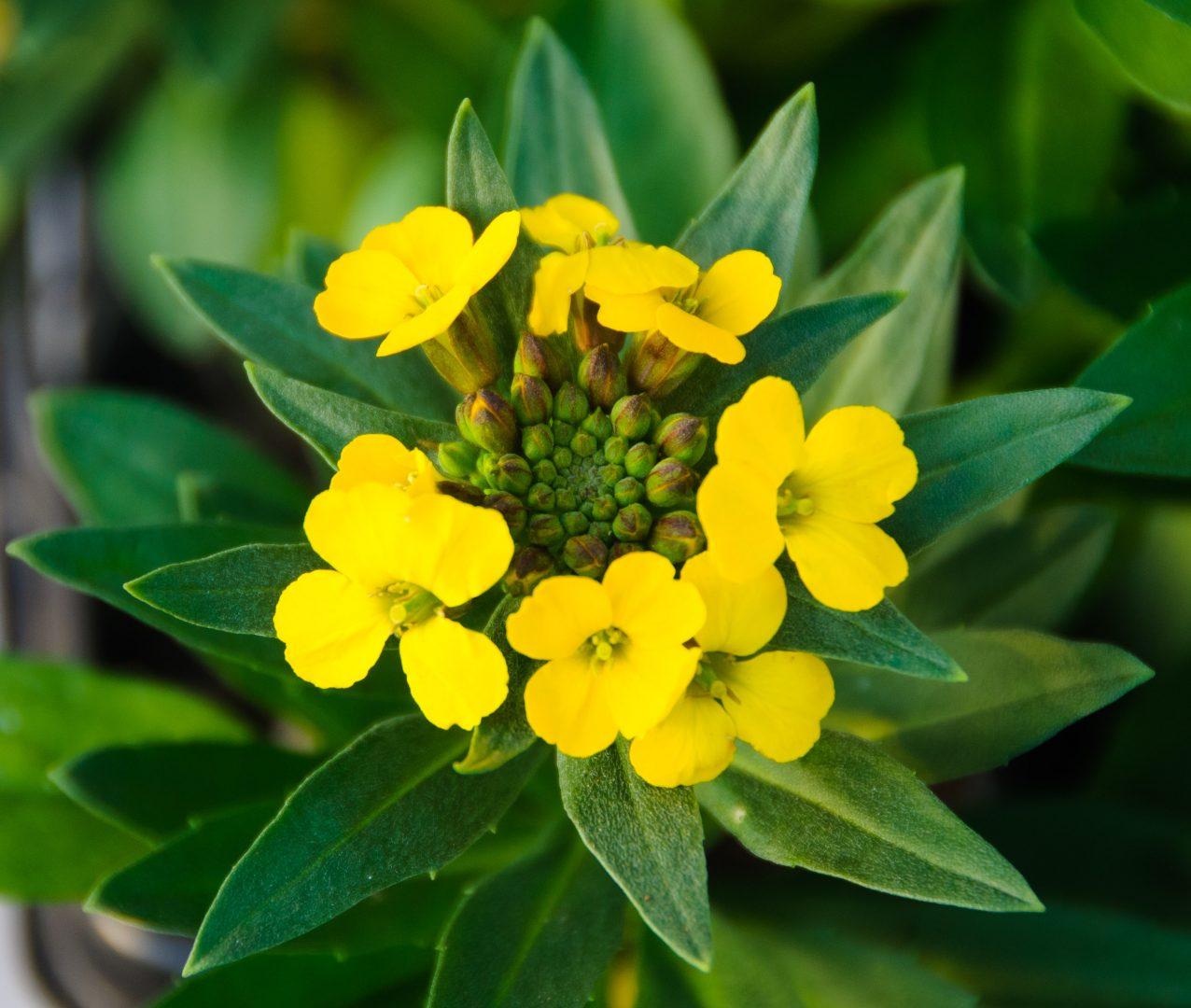 Alhelís amarillos