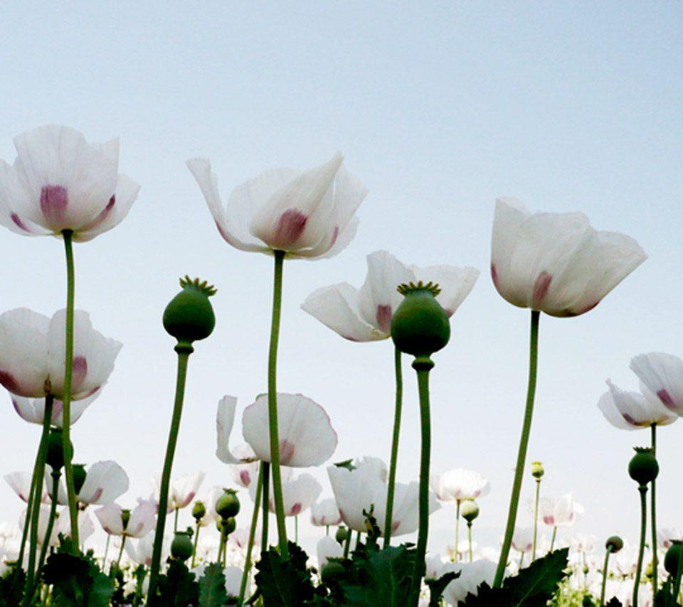 Amapolas blanca en la naturaleza