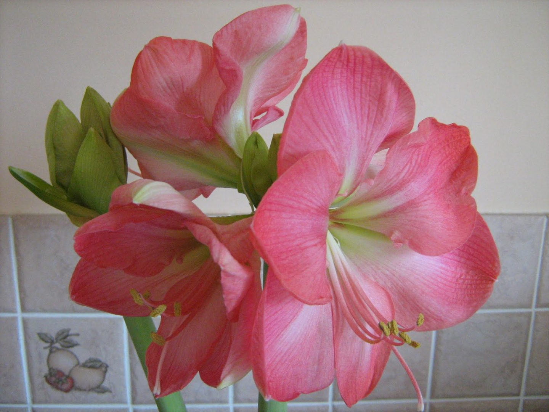 Amarilis rosa