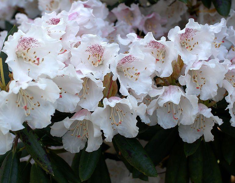 Azaleas blancas