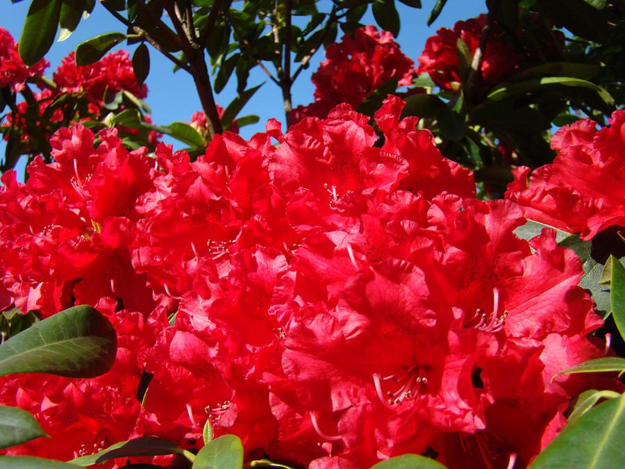 Azaleas rojas
